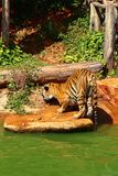 Tigers are on the edge of a pond in the woods. Stock Image