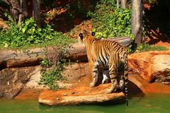 Tigers are on the edge of a pond in the woods. Royalty Free Stock Photos