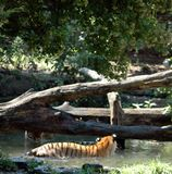 Tigers Eyeing Each Other Stock Images