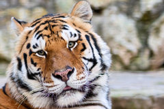 Tigers face Stock Photography