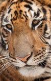 Tigers face. Close up of a tigers face stock photos
