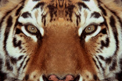 Tigers face close-up. Tiger is a cat, fierce temperament Stock Photography