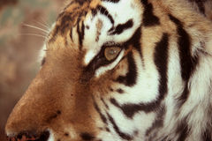 Tigers face close-up. Tiger is a cat, fierce temperament Royalty Free Stock Photo