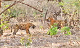 Tigers fighting after mating. Image of wild tigers fighting after mating in Ranthambhore National Park Royalty Free Stock Photography