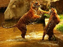 Tigers fighting. Two young tigers fighting in the water stock photo