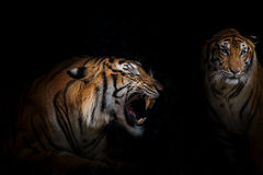 Tigers. Stock Photography