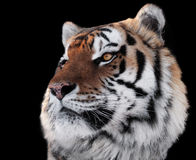 Tigers head with bright eyes close-up isolated on black Royalty Free Stock Images