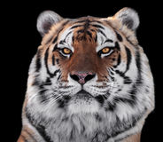 Tigers head close-up isolated on black Stock Images