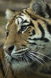 Tigers' head from the front side detail. Head of the Ussurian tiger Stock Images