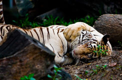 Tigers hugging Royalty Free Stock Photo