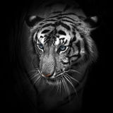 Tigers. Royalty Free Stock Images