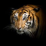 Tigers. Royalty Free Stock Photos