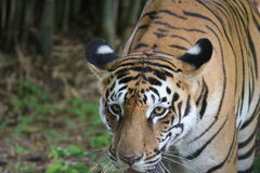 Tigers at its best ferociousness look behind the calm syes Royalty Free Stock Image