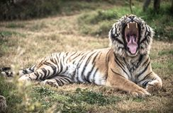 Tigers Jaws And Teeth. Tiger populations once ranged widely across Asia, from the Black Sea in the west, to the Indian Ocean in the south, and from Kolyma to stock photography