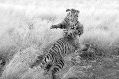 Tigers learn by playing at the same time. Royalty Free Stock Images