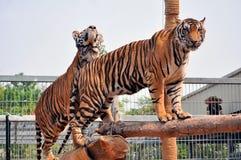 Tiger trainning Stock Photos