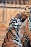Tiger trainning Royalty Free Stock Photo