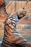 Tiger trainning Royalty Free Stock Photos