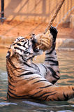 Tiger trainning Stock Photo