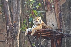 Tigers live at zoo in Thailand. royalty free stock photos