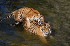 Tigers make love in the water Royalty Free Stock Photos