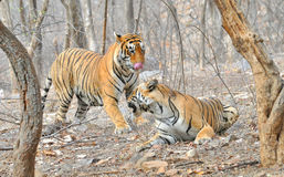 Tigers after mating. Image of wild tigers after mating Royalty Free Stock Photography