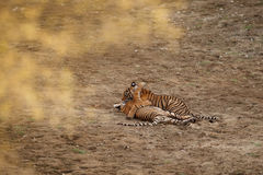 Tigers in the nature habitat. Bengal tiger cubs playing and fighting for dominance. stock images