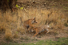 Tigers in the nature habitat. Bengal tiger cubs playing and fighting for dominance. Wildlife scene with danger animal. Hot summer in Rajasthan, India royalty free stock photos