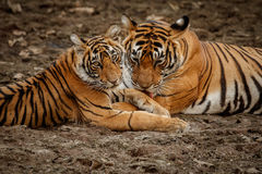 Tigers in the nature habitat. Tigers mother and cubs resting near the water. stock photography