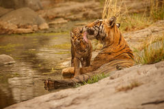 Tigers in the nature habitat. Tigers mother and cubs resting near the water. Tigers in the nature habitat. Tigers mother and cubs resting in the water. Wildlife Stock Image