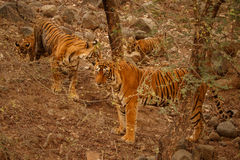 Tigers in the nature habitat. The whole tigers family include a father. Big male. stock images