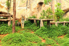 Tigers in a nature at the zoo Stock Images