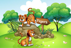 Tigers near the wooden arrow Royalty Free Stock Photo