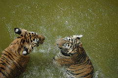 Tigers palying on the water Royalty Free Stock Images