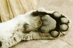 Tigers Paw. Close-up of the cushions on a paw of a tiger Stock Images