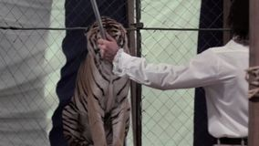 Tigers performing with ringmaster at circus stock footage