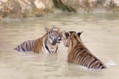 Tigers play Stock Photos