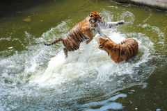 Tigers Play Fighting in Water. Two young female Siberian tigers play fighting in water Royalty Free Stock Photography