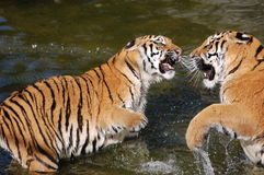 Tigers play in the water Royalty Free Stock Photography