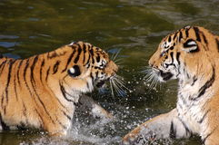 Tigers play in the water Royalty Free Stock Photo