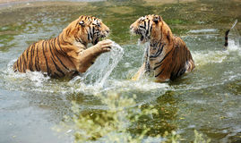 Tigers play in water Stock Photos