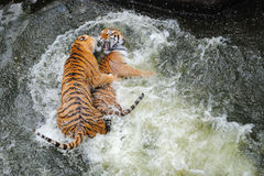 Tigers Play Wrestling in Water. Two young female Siberian tigers play fighting in water Royalty Free Stock Photo