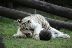 Tigers playing. Two baby brothers white tiger Royalty Free Stock Images