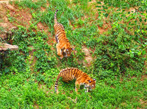 Tigers Playing Royalty Free Stock Photography