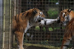 Tigers playing. In a cage Royalty Free Stock Photo