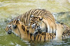 Tigers Playing in Water. Two tigers playing in water Stock Images
