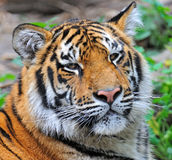 Tigers Stock Photography