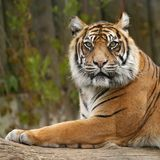 Tigers profile. Close up tiger face in ZOO Stock Images