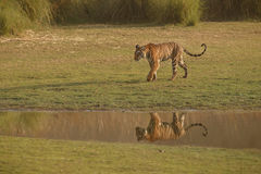 Tigers reflection Royalty Free Stock Image