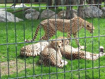 Tigers in relax. 4 tigers in a park..sweet relax Royalty Free Stock Photo